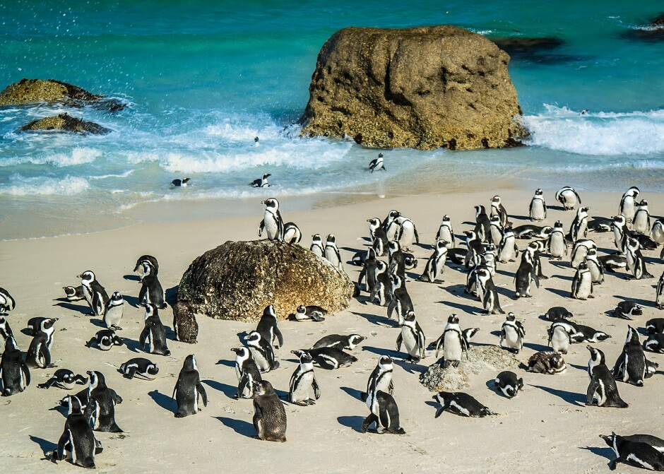 African penguins at Boulders Beacvh, South Africa