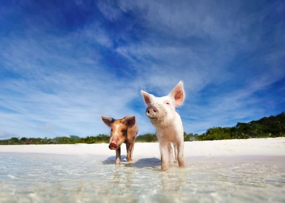 schweine_bahamas_61524281