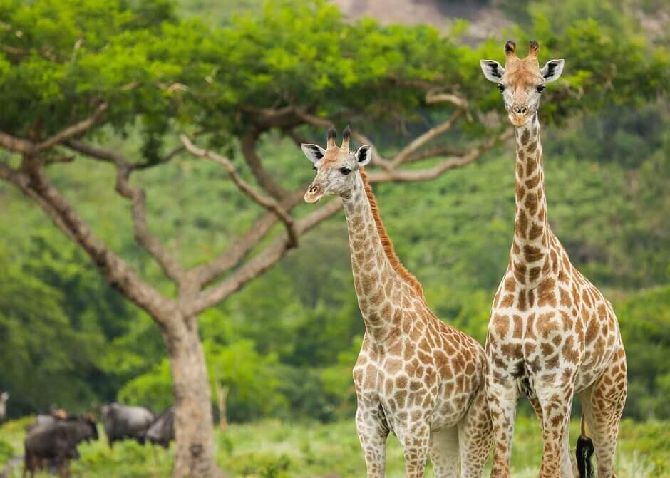 Giraffen auf Safari