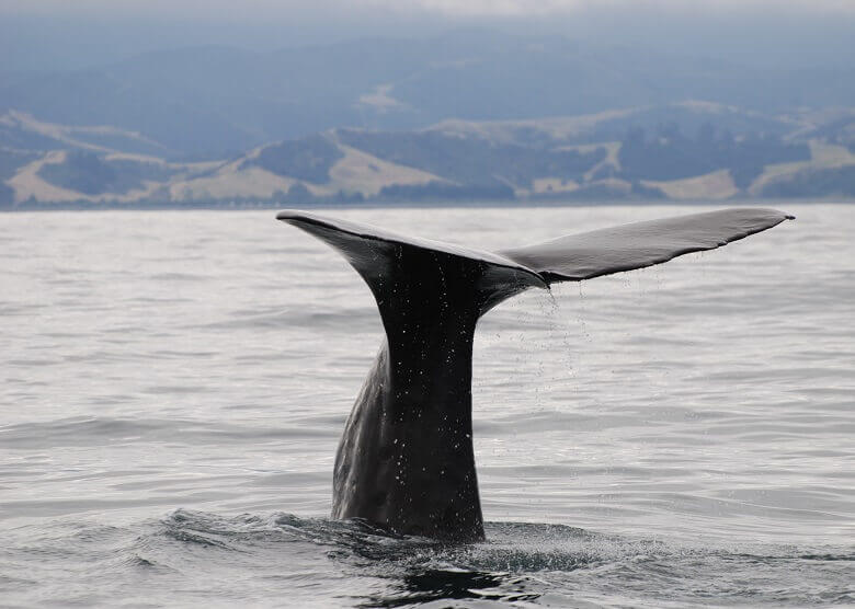 Whale Watching in Neuseeland
