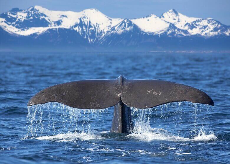 Wal auf den Lofoten