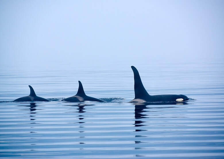 Whale Watching auf Vancouver Island