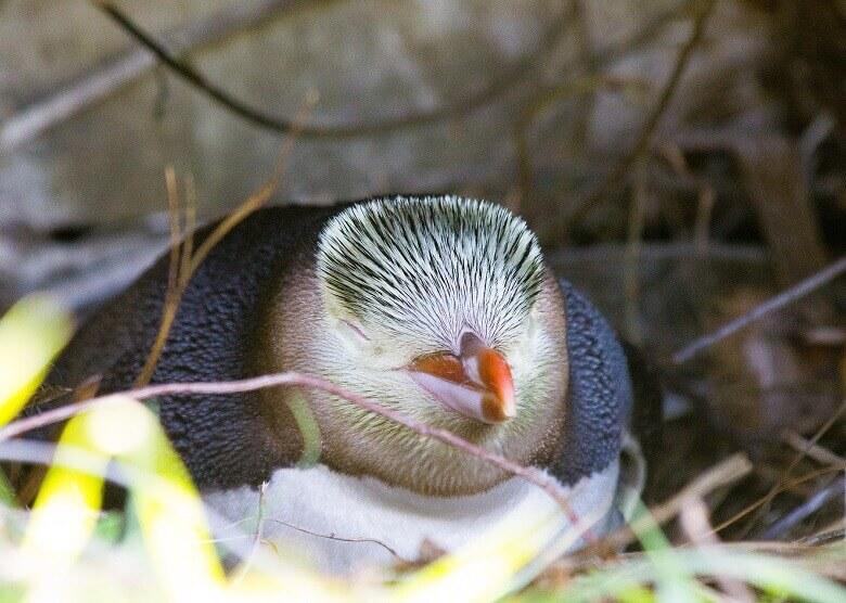 Pinguin in Oamaru