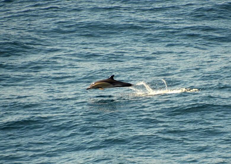 Delfin im Atlantik