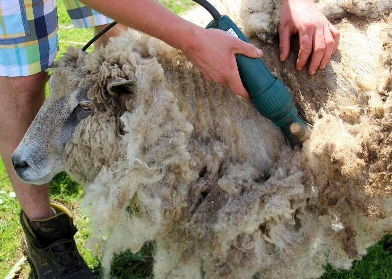 Schaf scheren beim Wwoofing