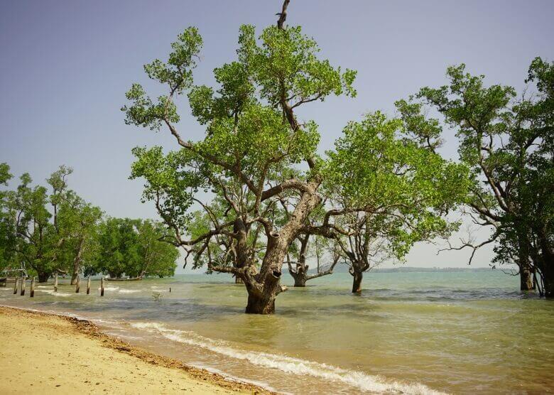 Mangroven auf Ko Lanta