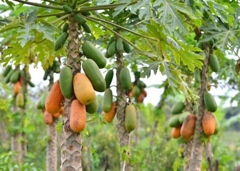 Papayapflanze auf Bocas del Toro