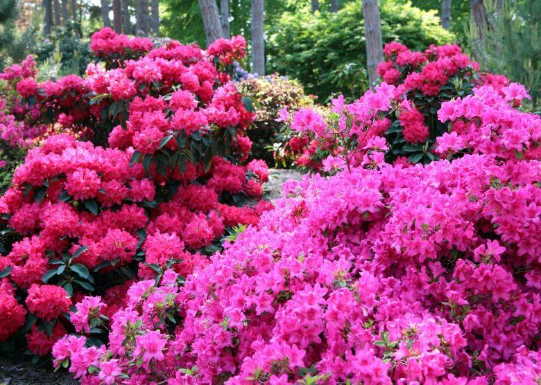Wunderschön: Blühender Rhododendron in Gablenz