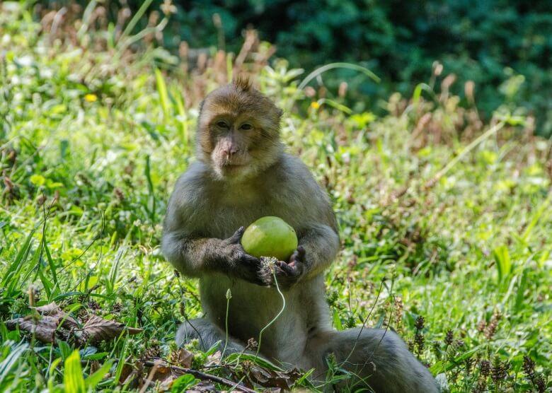 Affe auf dem Affenberg Salem in der Nähe vom Bodensee