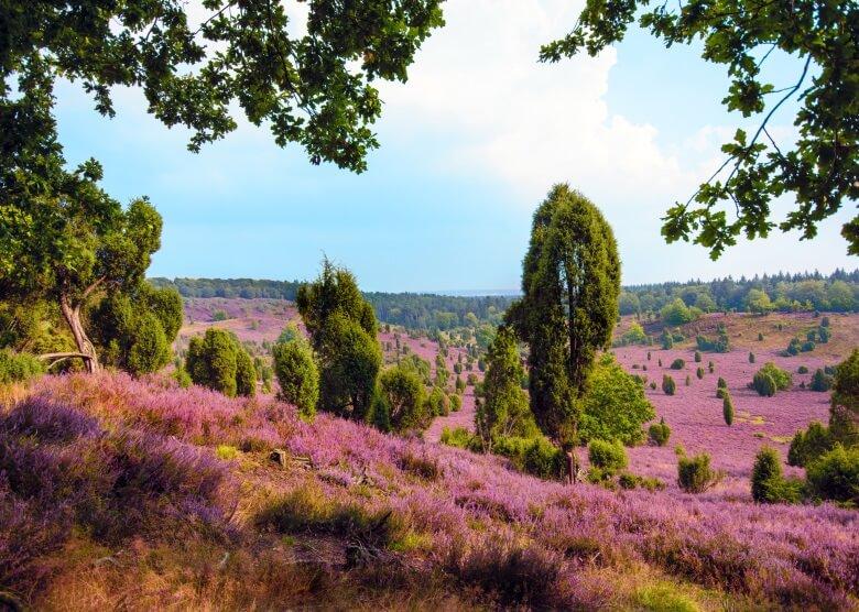 Die Lüneburger Heide in Deutschland mit blühender Heideblüte