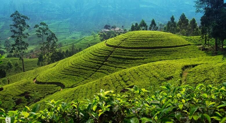 Teeplantagen in Nuwara Eliya in Sri Lanka