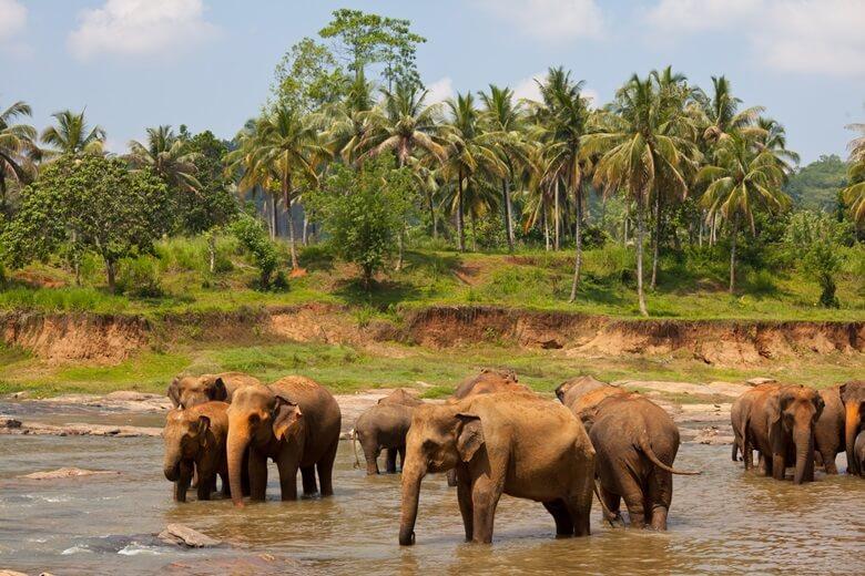 Badende Elefanten im Waisenhaus Pinnawela in Sri Lanka