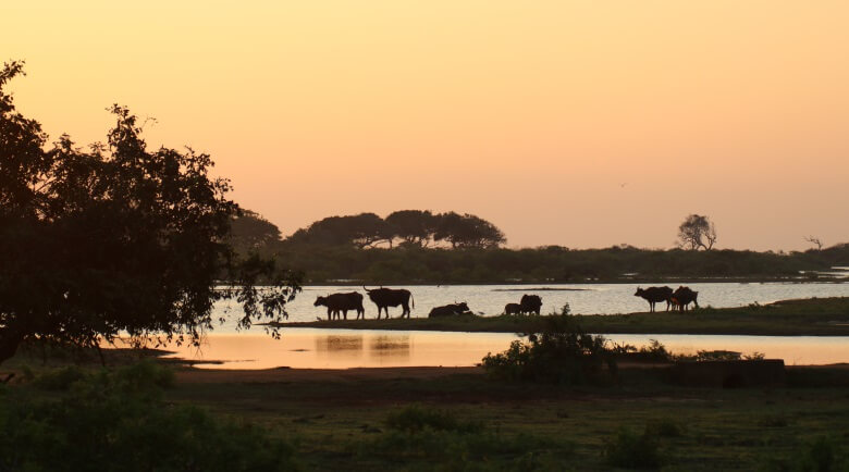 Büffelherde bei Sonnenuntergang im Yala Nationalpark in Sri Lanka