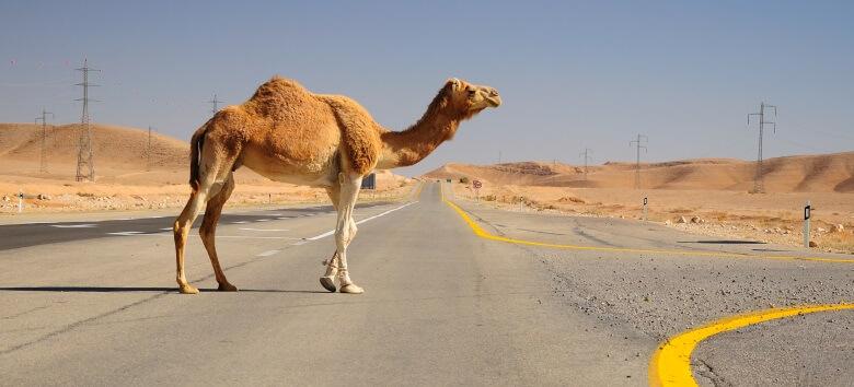 Kamel in der Negev-Wüste in während einer Israel-Rundreise
