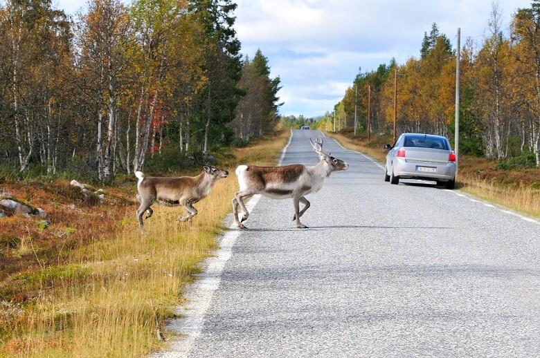 Wildwechsel während einem Roadtrip durch Schweden