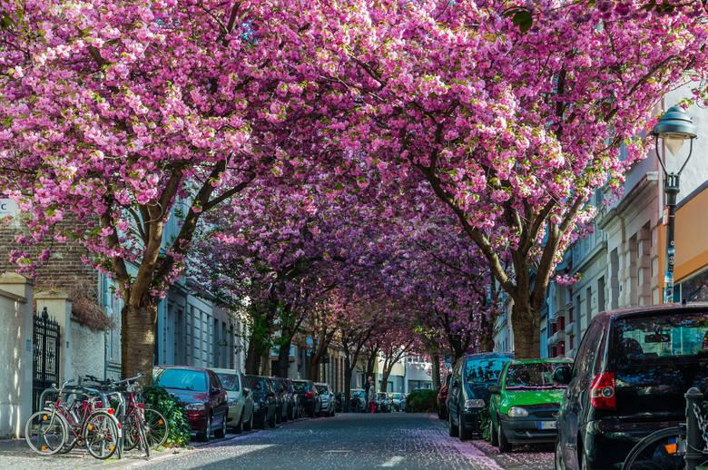 Kirschblüte, Heerstraße, Bonn