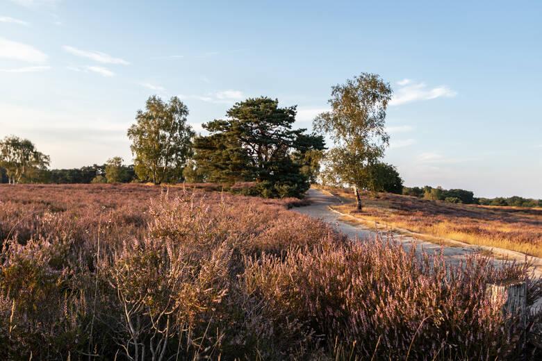 Blühende Westruper Heide im Ruhrgebiet